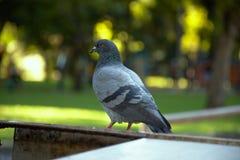 Wütend machende Taube stockbild
