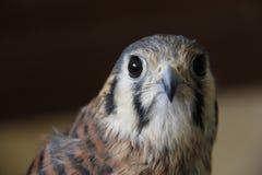 Wütender Falke Stockbild