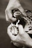 Wütender Leopard Stockbild