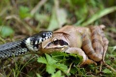 Wąż i żaba Zdjęcie Royalty Free