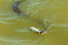 Wąż je ryba Obrazy Royalty Free