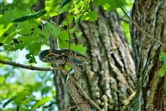 Wąż na drzewie 1 Fotografia Royalty Free