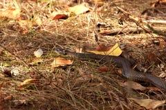 Wąż na polowaniu Zdjęcia Stock