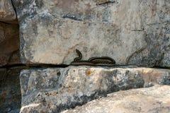 Wąż na skałach Obraz Royalty Free