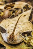 Wąż nosorożec Obraz Stock
