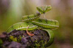 Wąż piękna żmija obrazy royalty free