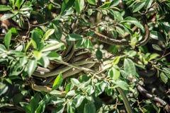Wąż piłka na drzewie zdjęcie royalty free