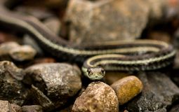 Wąż slithering między skałami zdjęcia stock