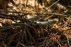 Wąż w lesie Obrazy Stock