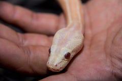 Wąż w ręce Fotografia Royalty Free