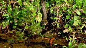 Wąż W trawie zbiory wideo