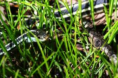Wąż w trawie 3 Fotografia Stock