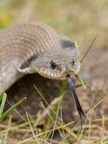 Wąż z długim jęzorem Obraz Stock