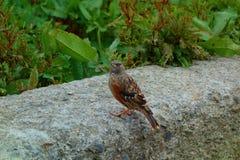 Wąsaty Laughingthrush ptak w Taroko parku narodowym, Tajwan obrazy royalty free