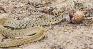 Węża łasowania żaba na ziemi obrazy royalty free