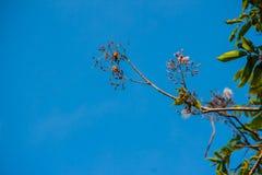 Węża drzewo kwitnie lub Stereospermum fimbriatum, (ściana ex G  Obrazy Royalty Free