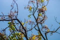 Węża drzewo kwitnie lub Stereospermum fimbriatum, (ściana ex G  Obraz Royalty Free
