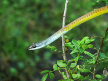 węża złoty drzewo Obraz Stock