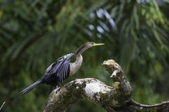 Wężowy lub snakebird, anhinga, przyroda w Costa Rica Obrazy Stock