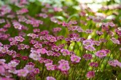 Wędkujący widok na purpurowych pierwiosnkach zdjęcia royalty free