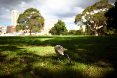 Wędrować ibisa zdjęcie royalty free