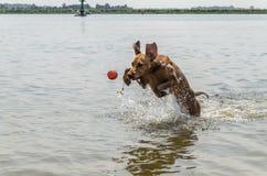 Węgier Vizsla ma zabawę w wodzie Zdjęcie Stock
