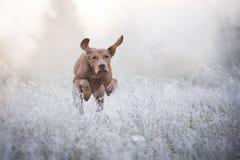 Węgierski ogara pies w freezy zima czasie fotografia royalty free