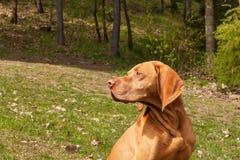 Węgierski pointer Vizsla, obwąchuje na polowaniu Jest prześladowanym lojalnego przyjaciela myśliwy Szczegół psia głowa zdjęcia stock