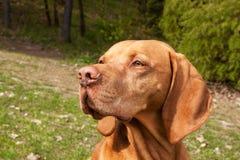 Węgierski pointer Vizsla, obwąchuje na polowaniu Jest prześladowanym lojalnego przyjaciela myśliwy Szczegół psia głowa zdjęcie royalty free
