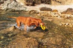 Węgierski pointer Vizsla pływa w morzu Pies sztuki w wodzie Psi szkolenie Letni dzień z psem morzem obraz royalty free