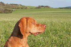 Węgierski polowanie ogar na greenfield miejscu Wiosna słoneczny dzień na polowaniu z psami Viszla na zielonym polu ogar fotografia royalty free