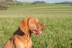Węgierski polowanie ogar na greenfield miejscu Wiosna słoneczny dzień na polowaniu z psami Viszla na zielonym polu ogar obraz stock