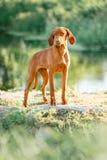 Węgierski wskazuje pies, vizsla stayon trawa patrzeje naprzód dreen na tle zdjęcia stock