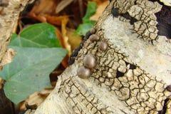 Węglowy grzyb fotografia royalty free