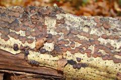 Węglowy grzyb obrazy stock