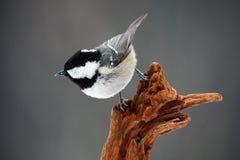 Węglowy Tit, Parus ater, śliczny ptak śpiewający w zimy scenie, śnieżny płatek i ładna śnieżna liszaj gałąź, błękitny i żółty, pł zdjęcia royalty free
