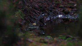 Węglowy tit, Periparus ater, kąpać się w lasu basenie podczas jesieni popołudnia zbiory