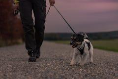 Właściciel iść z psim odprowadzeniem w jesieni w półmroku z słuchającą pochodnią - dźwigarki Russell terier obrazy royalty free