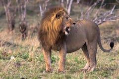 Właściciel sawanna Kenja, Afryka Fotografia Stock