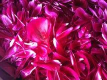 Właśnie czerwoni pinky peonia płatki w abstrakcie Obrazy Royalty Free