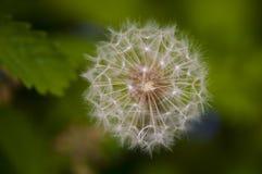 Właśnie dandy: Dandelion kwiat Makro- Obraz Royalty Free