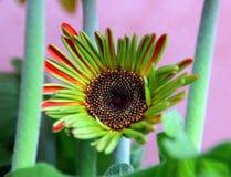 Właśnie dmuchający pomarańczowy Gerbera kwiat Fotografia Stock