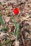 Właśnie dmuchający tulipan Obrazy Stock