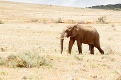 Właśnie jeden Szczęśliwy afrykanina Bush słoń Obrazy Stock