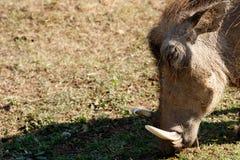 Właśnie jedzący - Phacochoerus africanus pospolity warthog Zdjęcia Stock