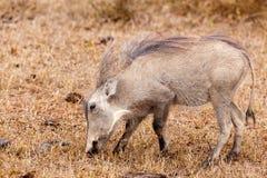 Właśnie jedzący trawy - Phacochoerus africanus pospolity warthog Zdjęcie Stock
