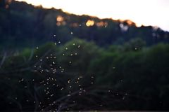 Właśnie komary - małe komarnicy zdjęcia stock
