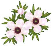 właśnie leptospermum manuka herbaty drzewo Obrazy Stock