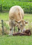 właśnie urodziła krowa Zdjęcie Stock