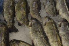 Właśnie złapana ryba na lodowych kawałkach świeże owoce morza Obraz Stock